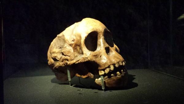 Rèplica d' Australopithecus africanus a l'exposicií Planeta Vida