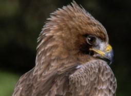 Àguila calzada