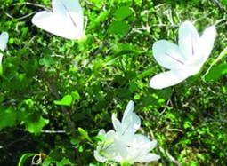 Bauhinia natalensis-SANBI-Red List South African Plants-home