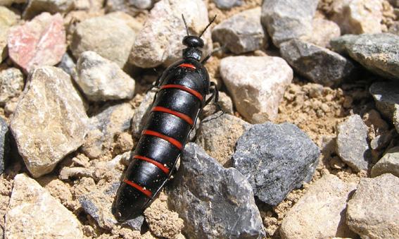 Berberomeloe majalis (Meloidae)-Jordi Agulló