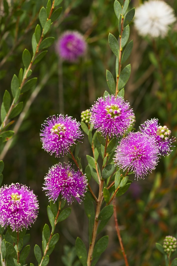 Melaleuca nesophila, Showy Honey Myrtle