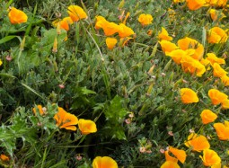 California poppi-Rosella de California-Flickr-Mikebaird