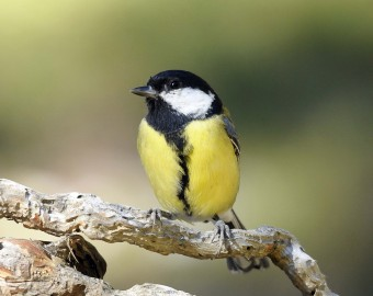 Mascle de Mallerenga carbonera (Parus major). ©Toni Borràs.