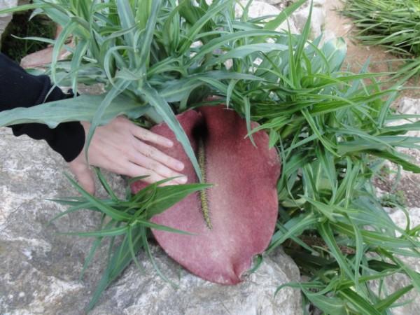 Flor de Rapa mosquera, una planta carnívora amb una olor molt fètida