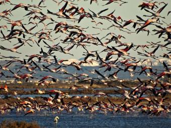 Flamencs al Delta de l'Ebre-Flickr-Mireia Canicio