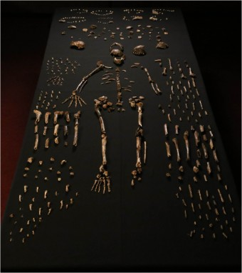 """Homo naledi skeletal specimens"" by Lee Roger Berger research team - http://elifesciences.org/content/4/e09560. Licensed under CC BY 4.0 via Commons - https://commons.wikimedia.org/wiki/File:Homo_naledi_skeletal_specimens.jpg#/media/File:Homo_naledi_skeletal_specimens.jpg"