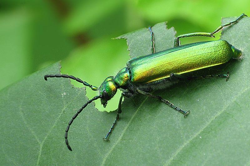 Lytta-vesicatoria (Meloidae)-wikipedia-Stefanie Hamm