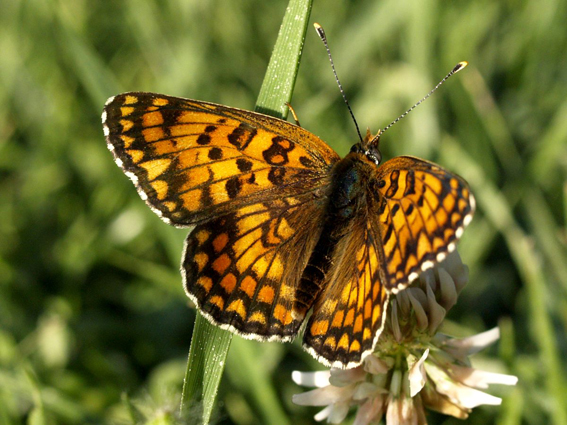 Melitaea_phoebe_Flickr by flurmog