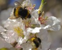 Prunus dulcis amb flor