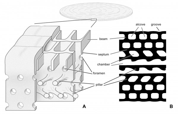 Structural models of Azzarolina daviesi (Henson, 1950). A Reconstruction of the basic chamber architecture. B View of eight successive chambers in oblique section. Not to scale. See Hottinger (2006) for definition of terms.