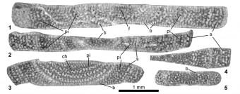 Imatges microscopia Azzarolina