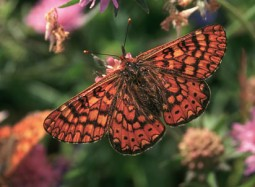 papallonaindocadorbiodiversitat